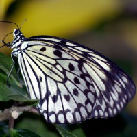 White Tree Nymph Butterfly (Idea leuconoe)