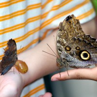 Owl Butterfly on finger (Caligo eurilochus)