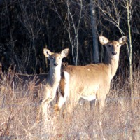White tail deer in field